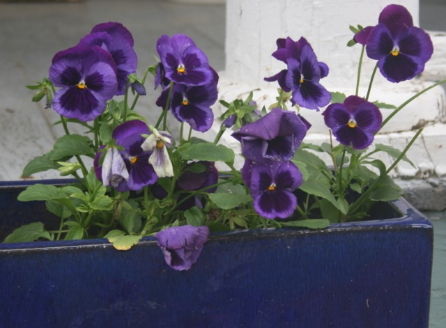 Porch Pansies 2013
