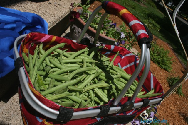 From Field to Doorstep: Beans from Big Woods Farm CSA