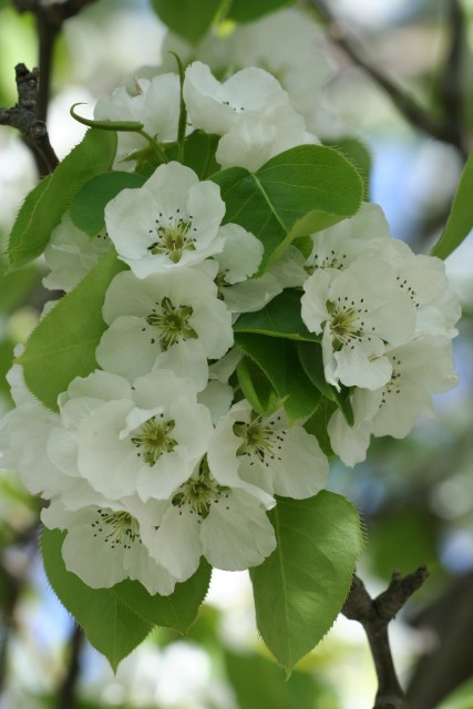 Apple Blossom Cluster (Photo by Leslie Schultz)