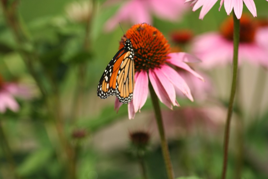 Monarch & Coneflower Close