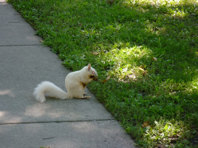 Albino Squirrel in Northfield