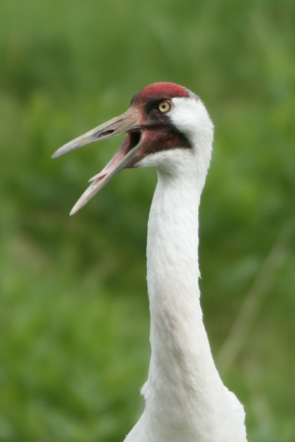 Whooping Crane Vocalizing (photo: Karla Schultz)