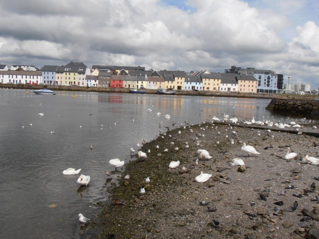 Swans at Galway Bay