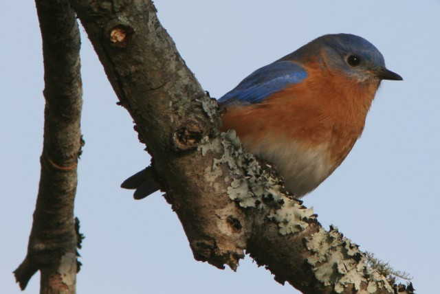 Eastern Bluebird in Atlanta, GA  (photo: Karla Schultz)