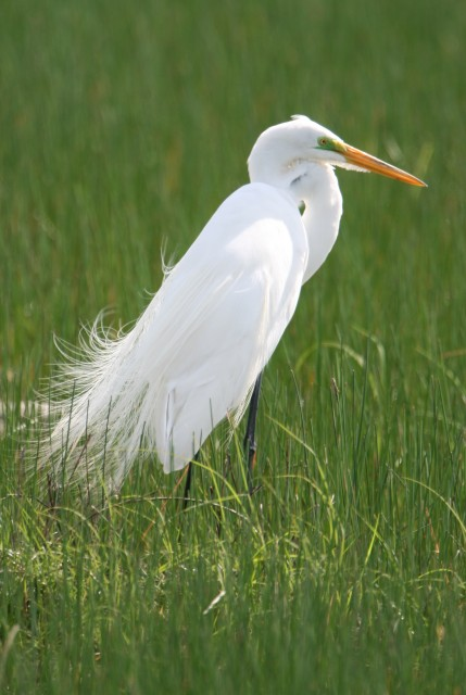 Egret in Florida  (photo: Karla Schultz)