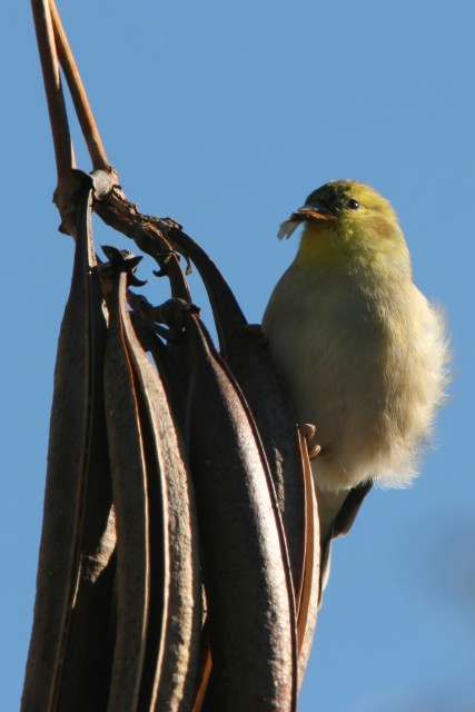 Goldfinch near Macon, GA  (photo: Karla Schultz)