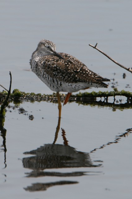 Greater Yellowlegs in Florida  (photo: Karla Schultz)