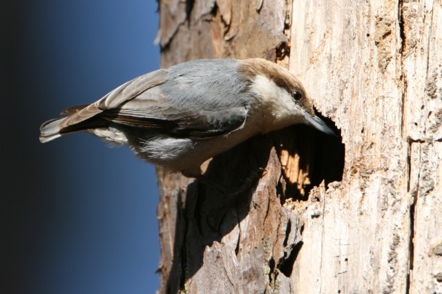 Nuthatch near Macon, GA  (photo: Karla Schultz)