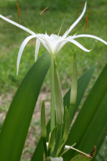 Swamp Lily, Lake Charles, Louisiana (Photo: Jan Rider Newman)