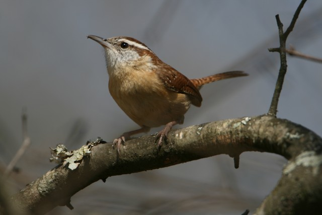 Wren near Macon, GA (photo: Karla Schultz)