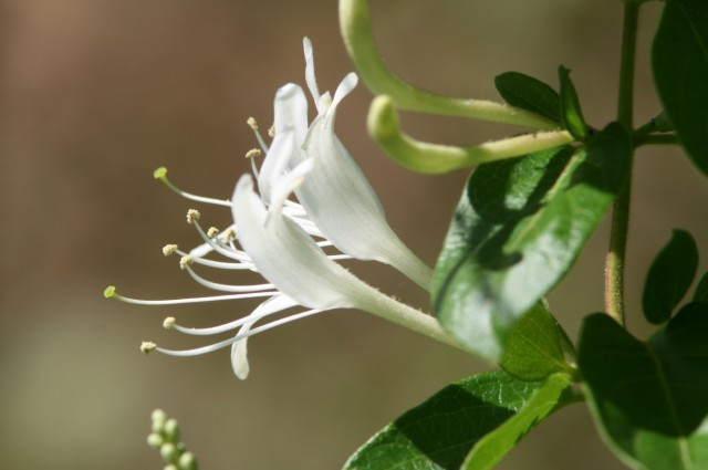 Honeysuckle, Macon, 2011 (photo: Karla Schultz)