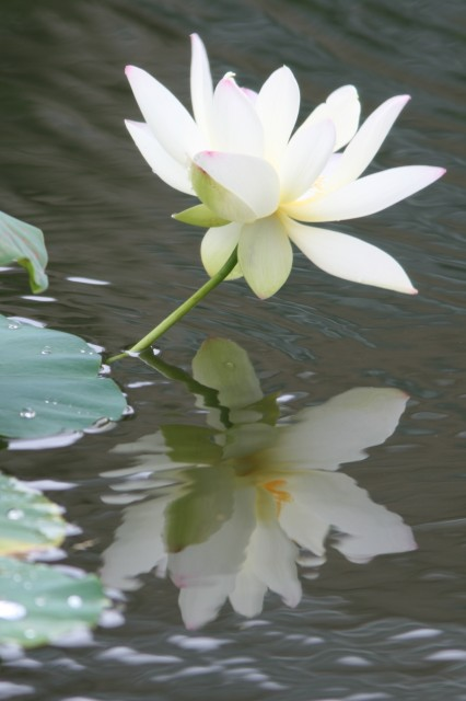 Lotus, Atlanta Botanical Gardens, 2013 (photo: Karla Schultz)
