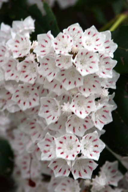 Mountain Laurel, Calaway Gardens, 2009 (photo: Karla Schultz)
