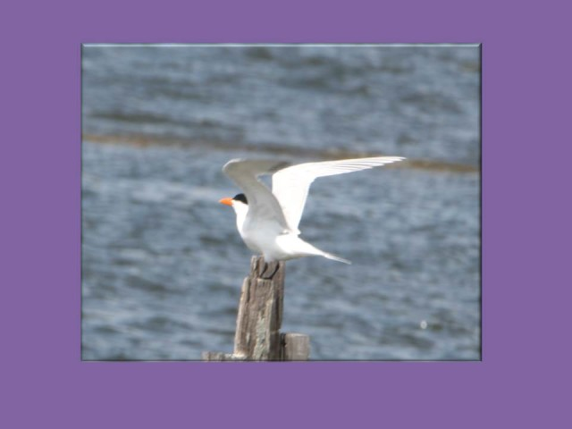 Common Tern, Florida Coast   (photo: Karla Schultz)