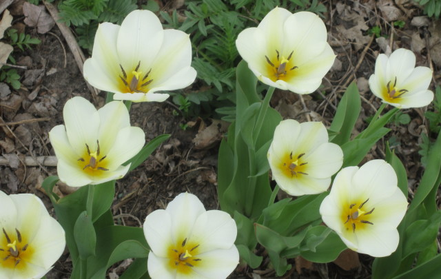 Lemon Hart Tulips