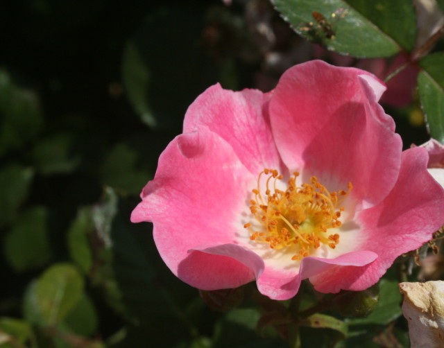 Wild Rose for Elaine