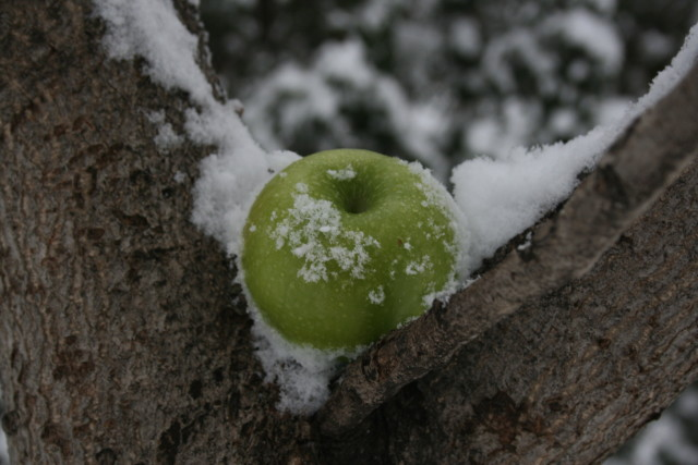 winter-apple-in-tree