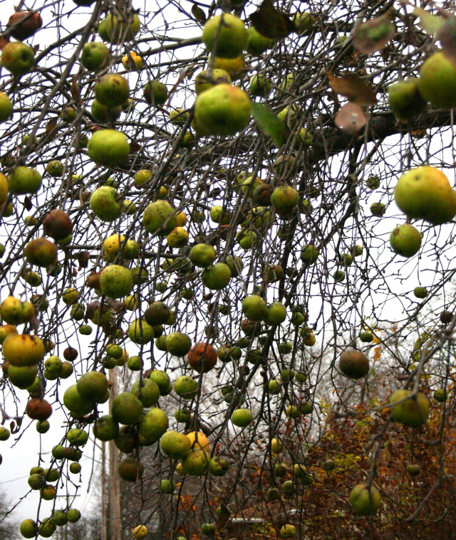 winter-apples